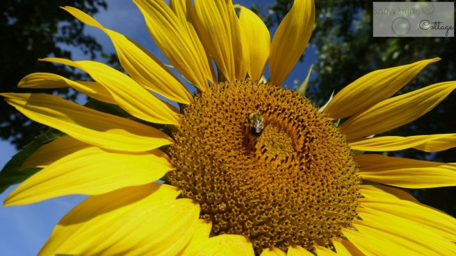 sunflower bee watermark