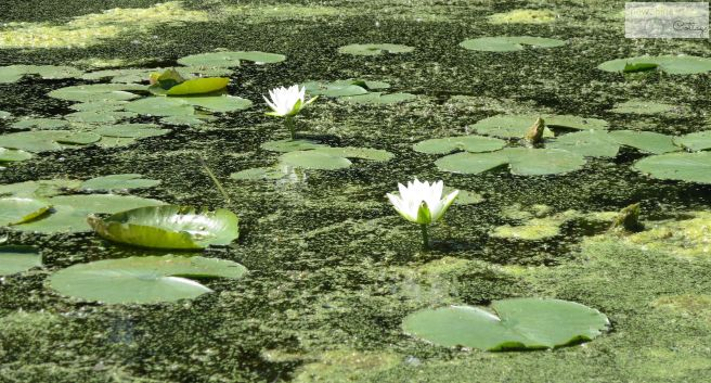 waterlilies watermark